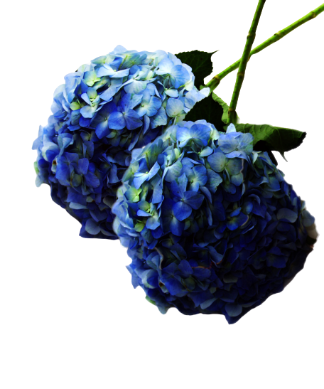 HYDRANGEAS Monthly Subscription - Weekly Flowers