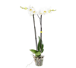 Phaleanopsis Plant Monthly Subscription - Weekly Flowers
